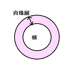 真珠の断面図1
